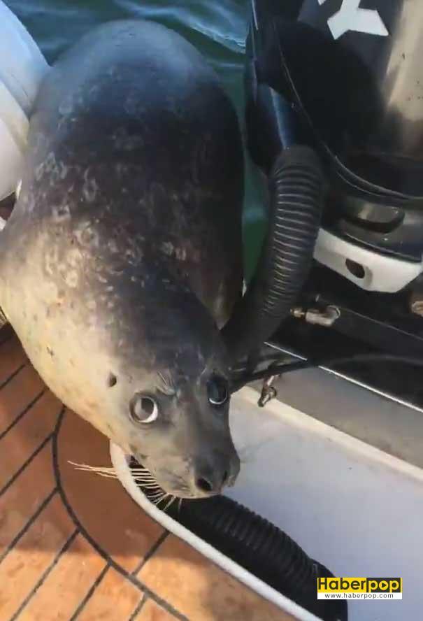 Balinalardan-kaçan-fok,-kendini-balıkçı-teknesine-attı-video