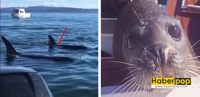 Balinalardan-kaçan-fok,-kendini-balıkçı-teknesine-attı-videosu-izle-hs