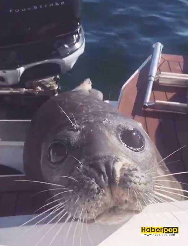 Balinalardan-kaçan-fok,-kendini-balıkçı-teknesine-attı-videosu