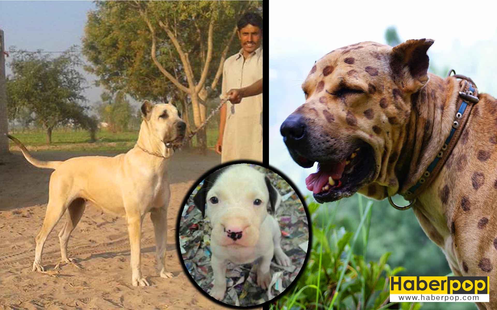 Bully Kutta türü köpek ve yavrusu