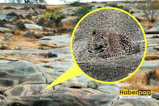 Fotoğrafta-gizlenen-leoparı-gördünüz-mü-gizemli