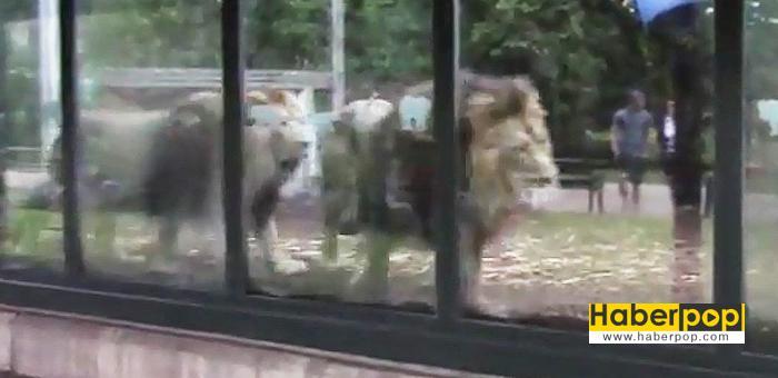 Hayvanat-bahçesindeki-müzik-yayını-aslanları-strese-soktu-haber