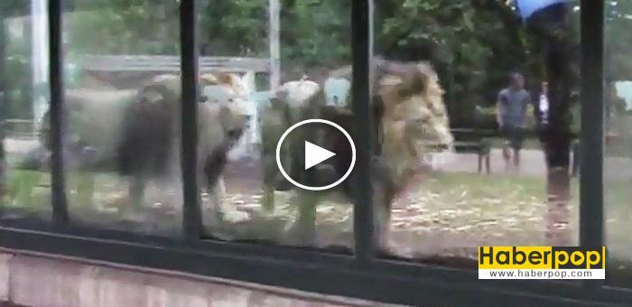 Hayvanat-bahçesindeki-müzik-yayını-aslanları-strese-soktu-haberi-izle