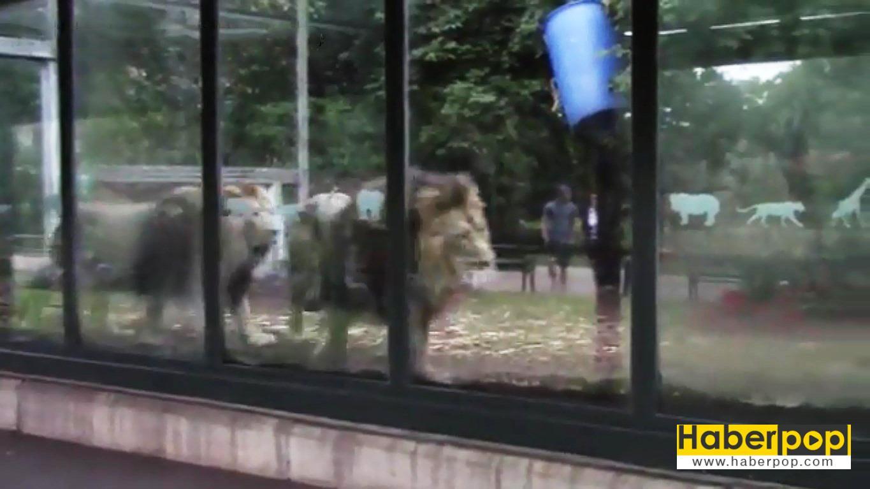 Hayvanat-bahçesindeki-müzik-yayını-aslanları-strese-soktu