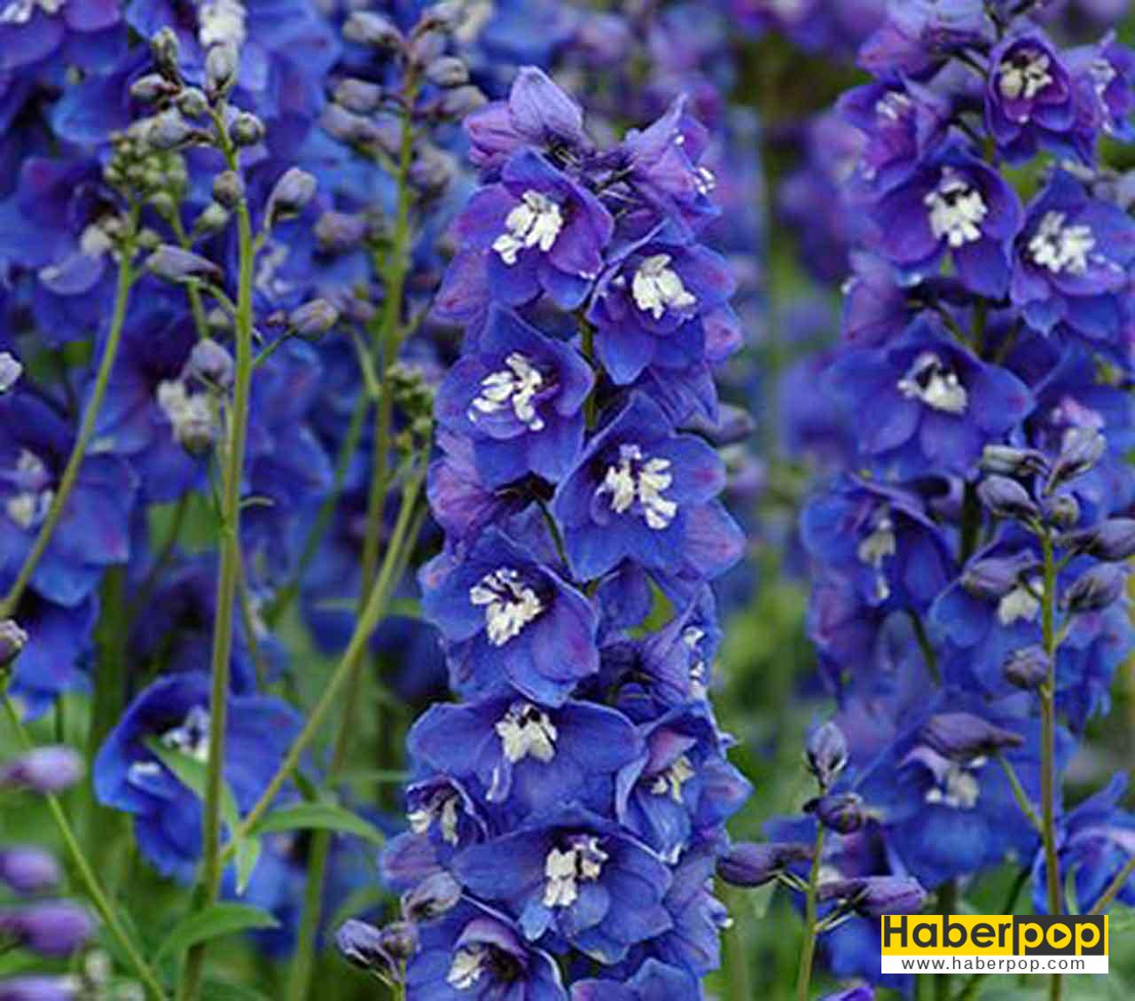 Herzen çiçeği - Delphinium elatum