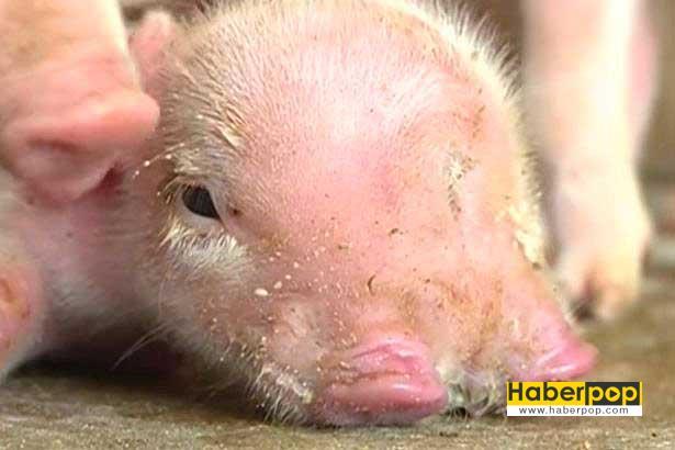 iki-burunlu-uc-gozlu-domuz-video
