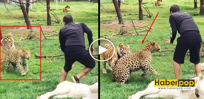 Kaplan-bakıcısını-leopardan-böyle-kurtardı-haberi-izle