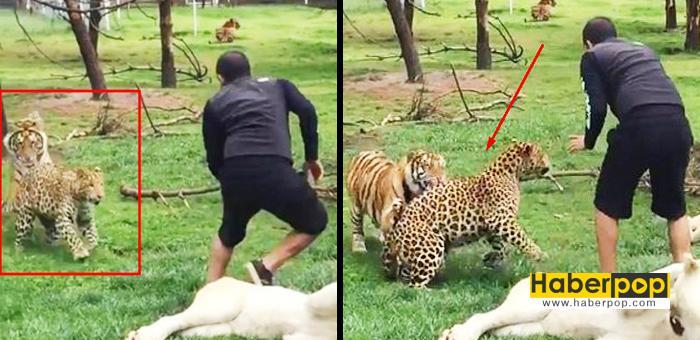 Kaplan-bakıcısını-leopardan-böyle-kurtardı-haberi