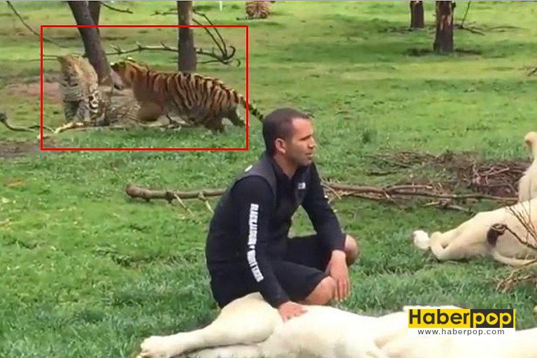 Kaplan-bakıcısını-leopardan-böyle-kurtardı-video