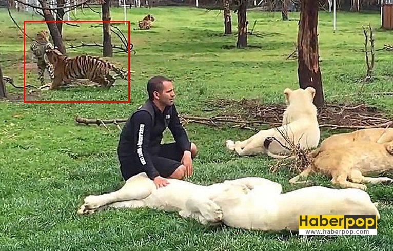 Kaplan-bakıcısını-leopardan-böyle-kurtardı-videosu