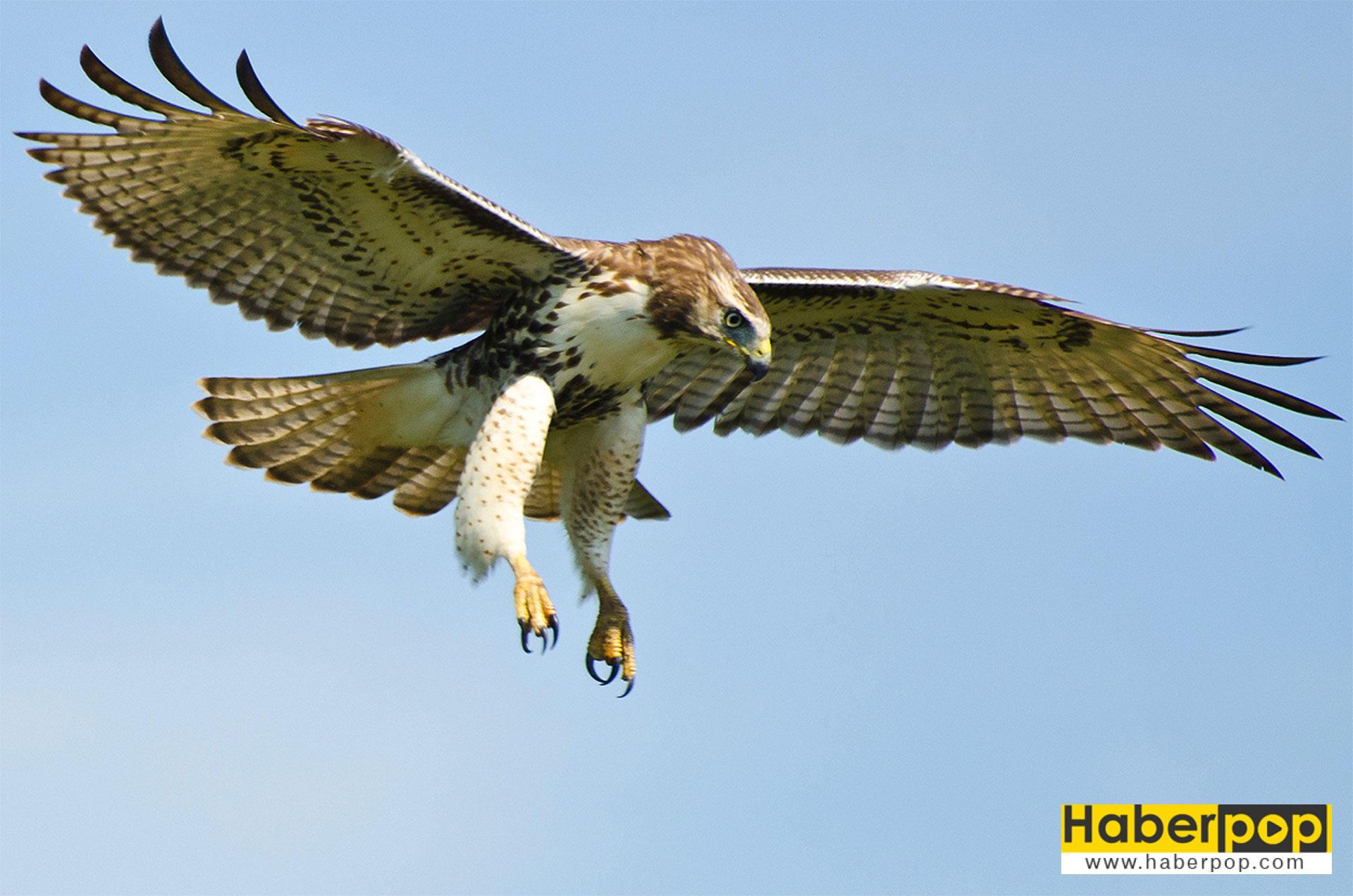 En tehlikeli kuş türleri - Kırmızı kuyruklu şahin