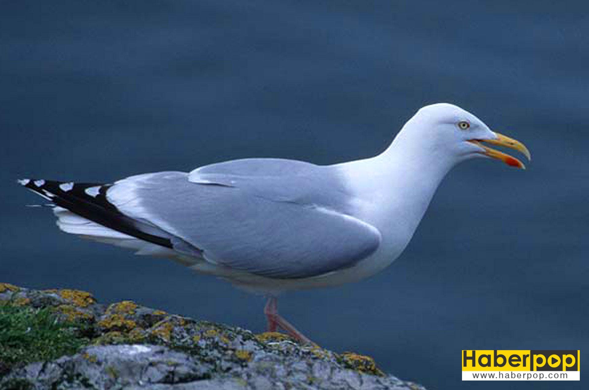 Martı - En tehlikeli kuş türleri