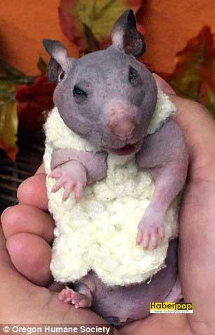 minik-hamster-bu-kazak-sayesinde-artik-usumeyecek-komik-haberler