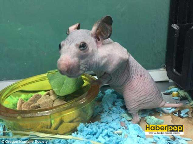 minik-hamster-bu-kazak-sayesinde-artik-usumeyecek-tuhaf-haberler