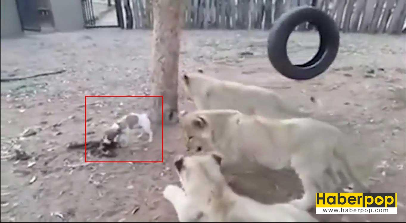minik-yavru-kopek-aslanlari-boyle-korkuttu