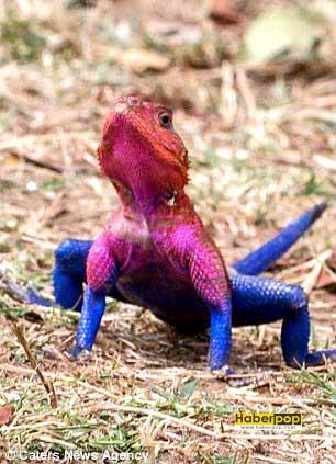 orumcek-adama-benzeyen-kertenkele-ilginc-hayvanlar