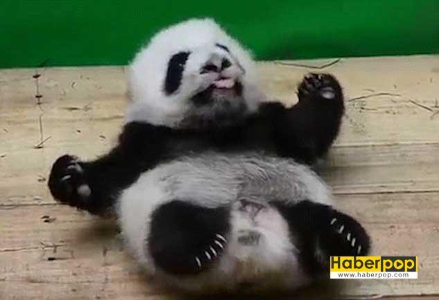sirin-panda-uyurken-yatagindan-dustu-video