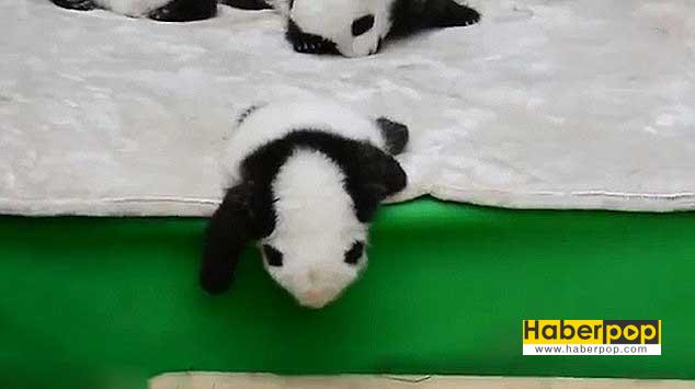 sirin-panda-uyurken-yatagindan-dustu