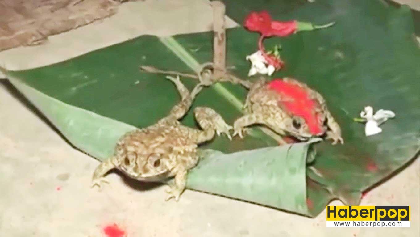 Yağmur-tanrısı-için-iki-kurbağayı-evlendirdiler-tuhaf-haberler