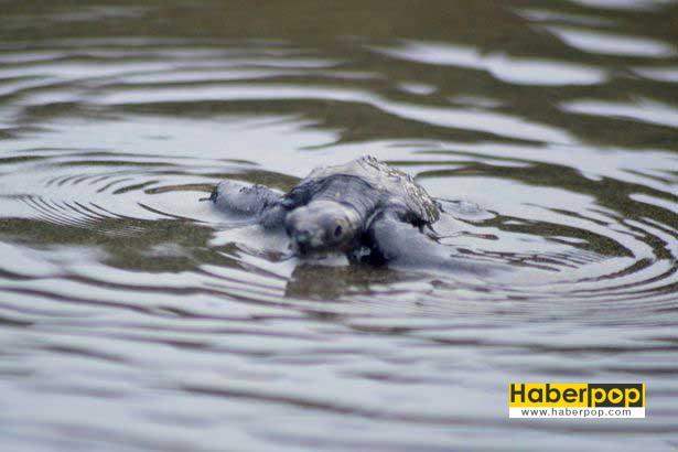 yavru-kaplumbagalar-vip-eskort-esliginde-denizle-bulustu-ilgginc-haber