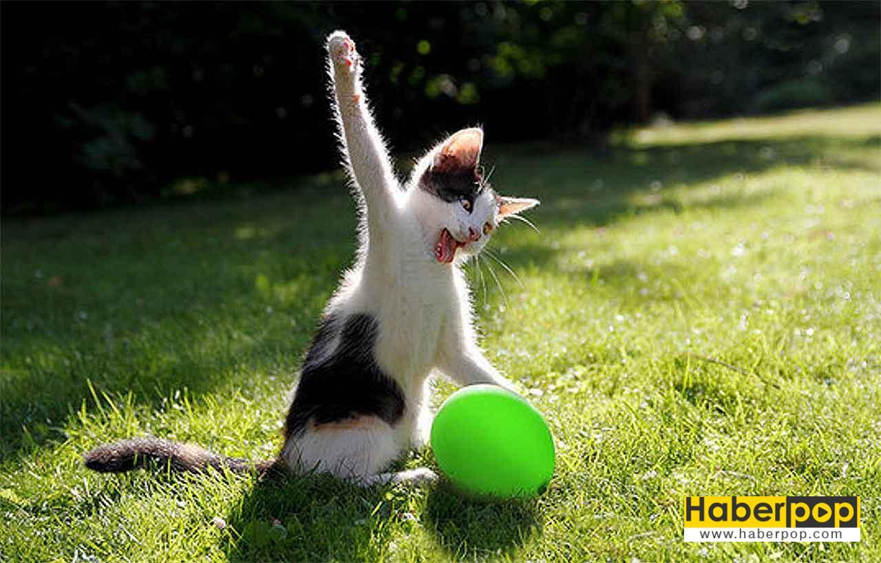 Balon Patlatan Sinirli Kedi Cinsi Irki En Guzel Kedi Sirin Tatli