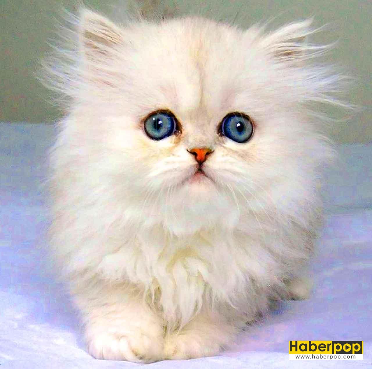 Beyaz Yavru Mavi Gozlu Kedi Sepet Icinde Tatli Kucuk Buyuk Kedi