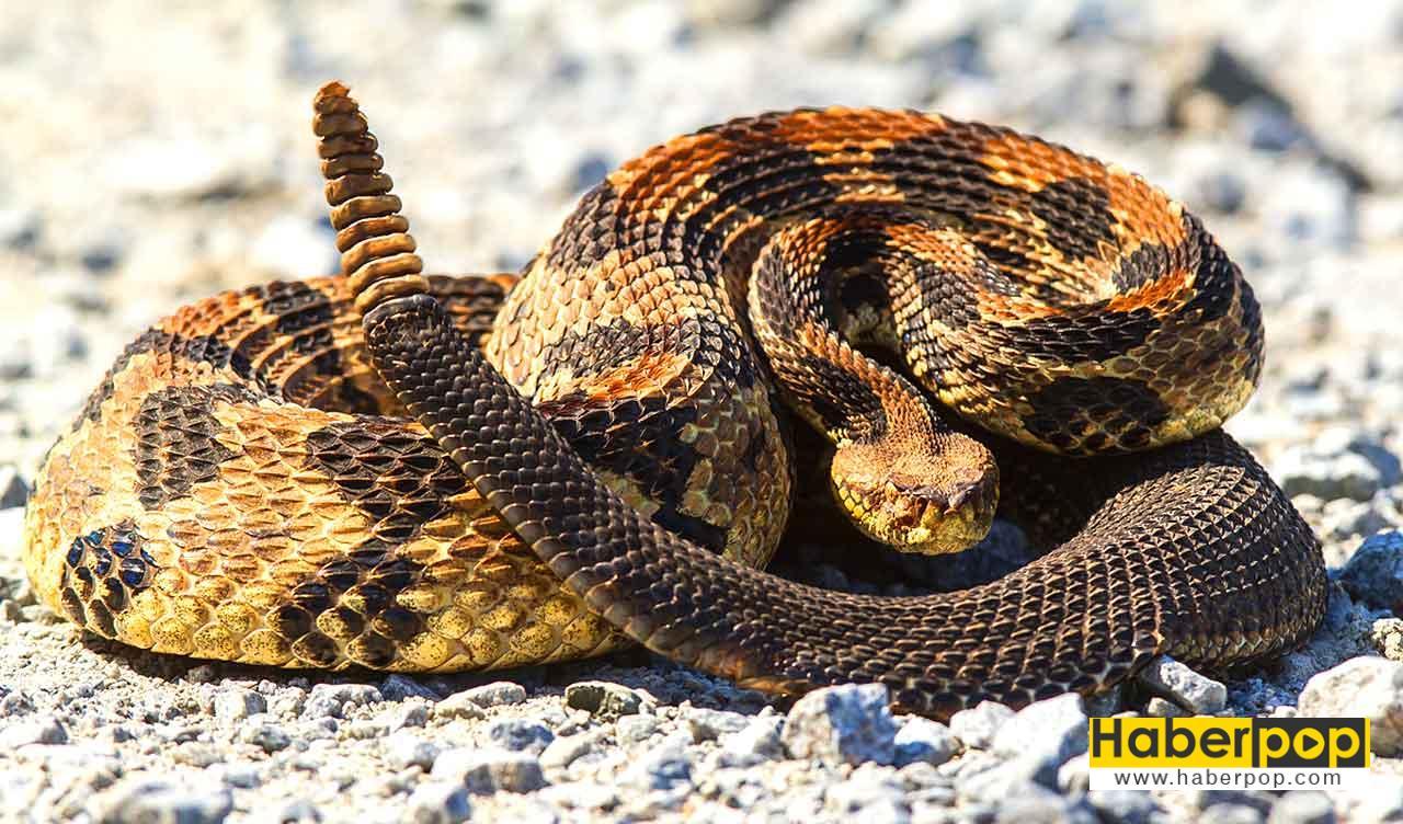 Çıngıraklı yılan - Dünyanın en zehirli yılanı