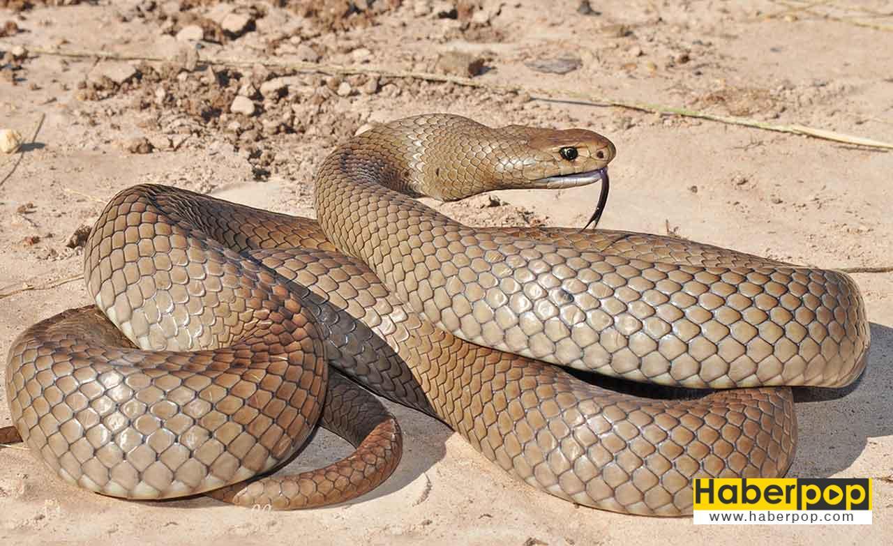 Dünyanın en zehirli 3. yılanı: Doğu kahverengi yılanı
