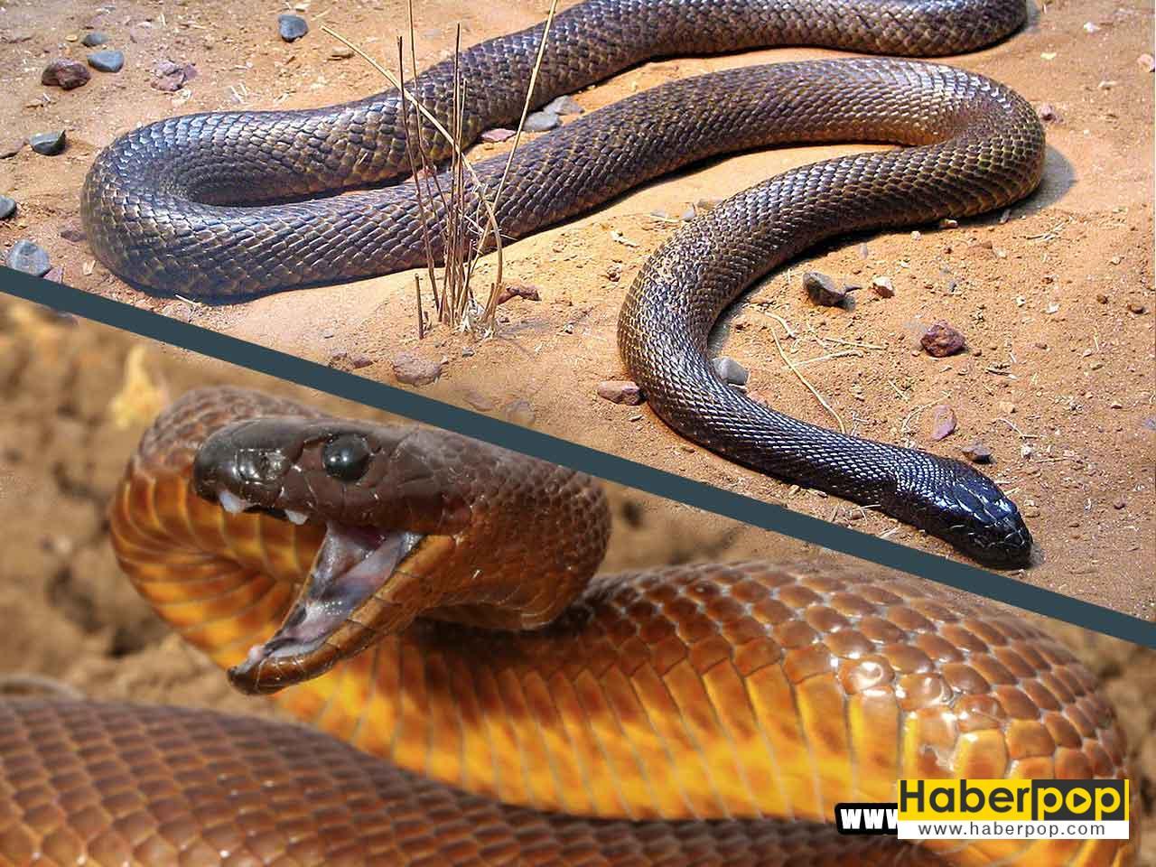 Dünyanın en zehirli yılanı: İçbölge taypanı - Oxyuranus microlepidotus