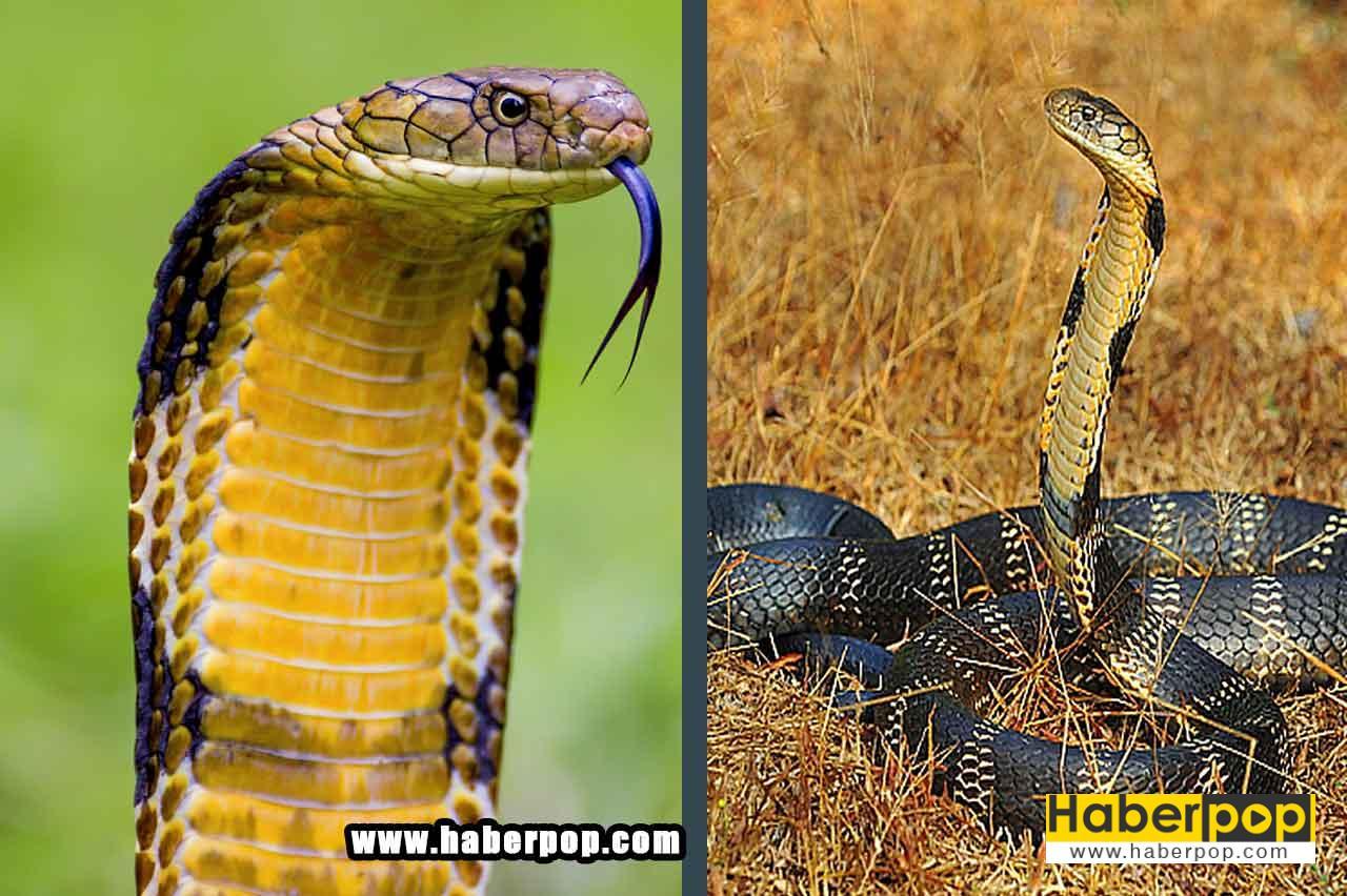 Dünyanın en tehlikeli ölümcül yılanları: Kral kobra