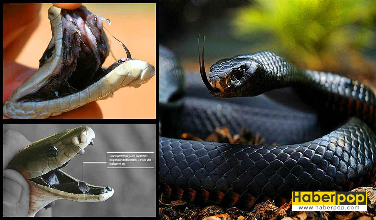 Dünyanın en zehirli tehlikeli yılanı - Kara Mamba