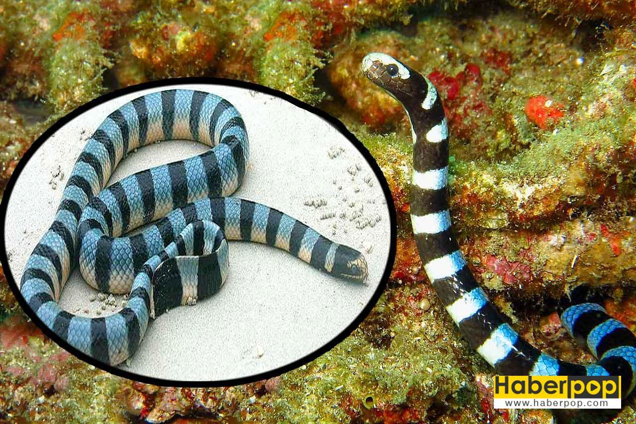 Dünyanın en zehirli su yılanı - Laticauda semifasciata