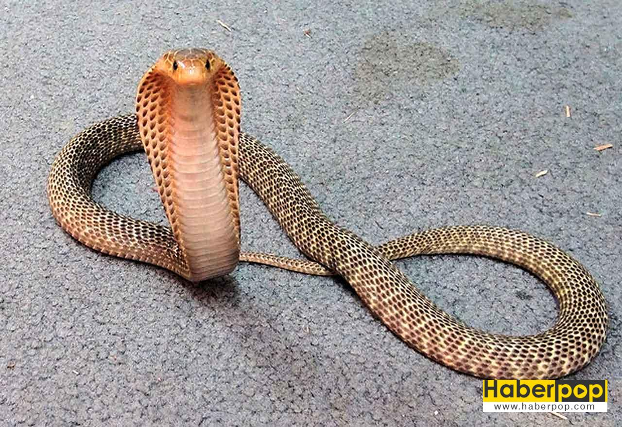 Dünayanın en zehirli kobra yılan
