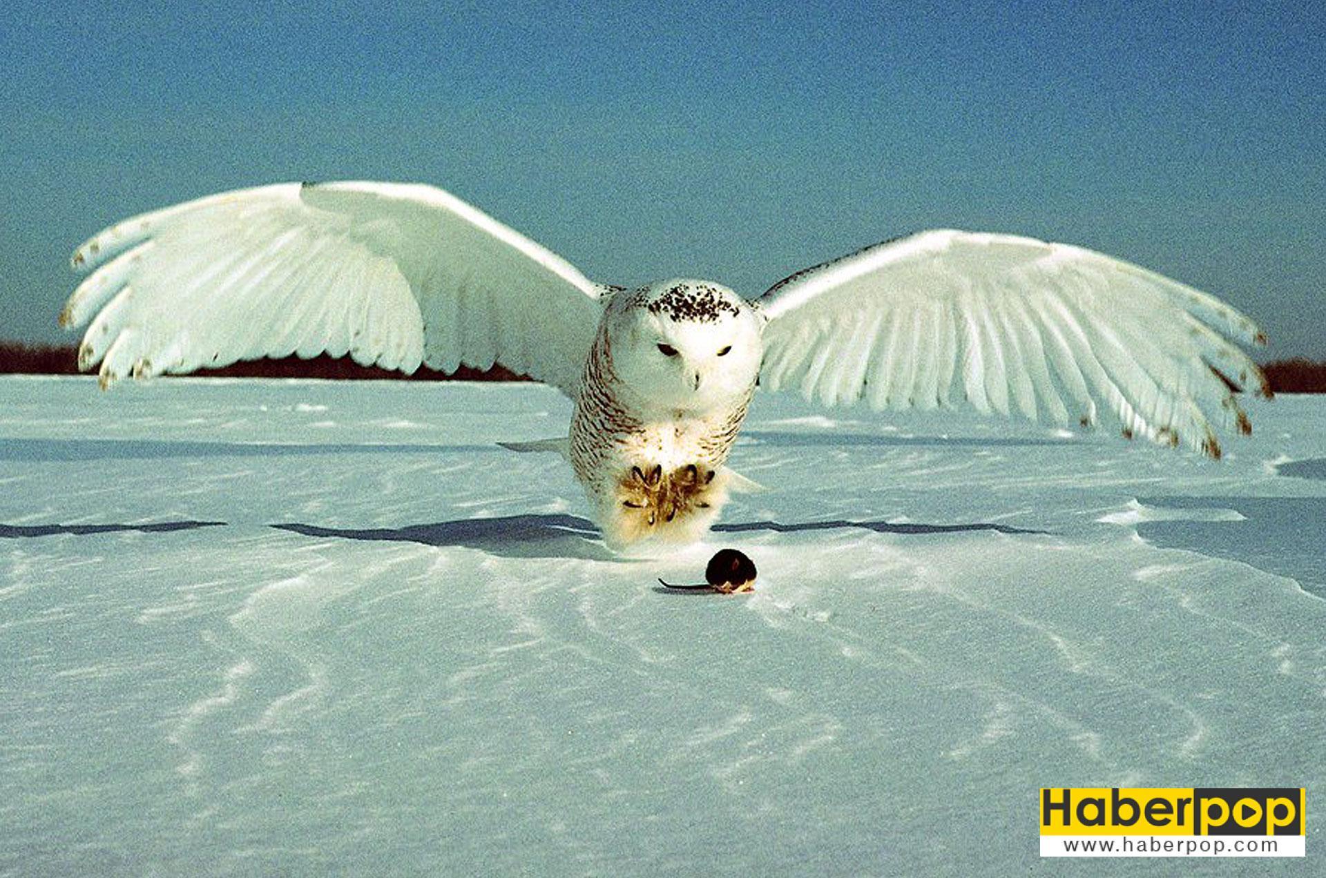 En tehlikeli kuş türleri - Kar baykuşu