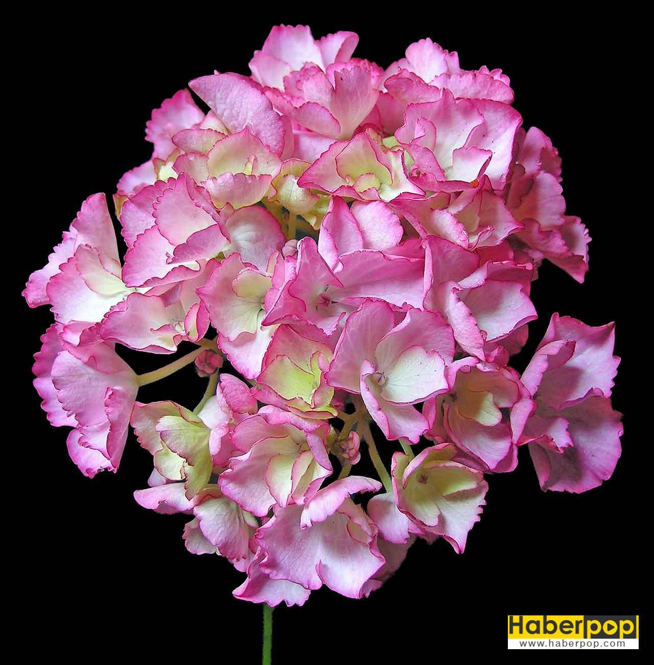 Ortanca çiçeği - Hydrangea macrophylla