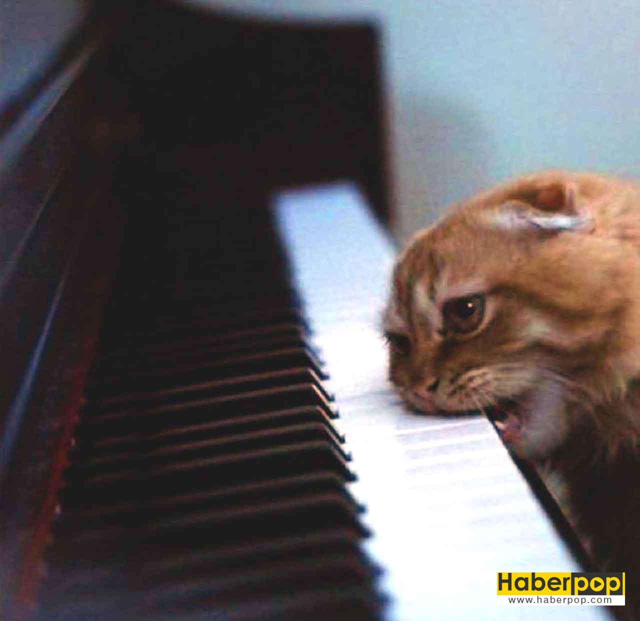 Piyanoyu Isiran Sinirli Kedi Cinsi Irki En Guzel Kedi Sirin Tatli