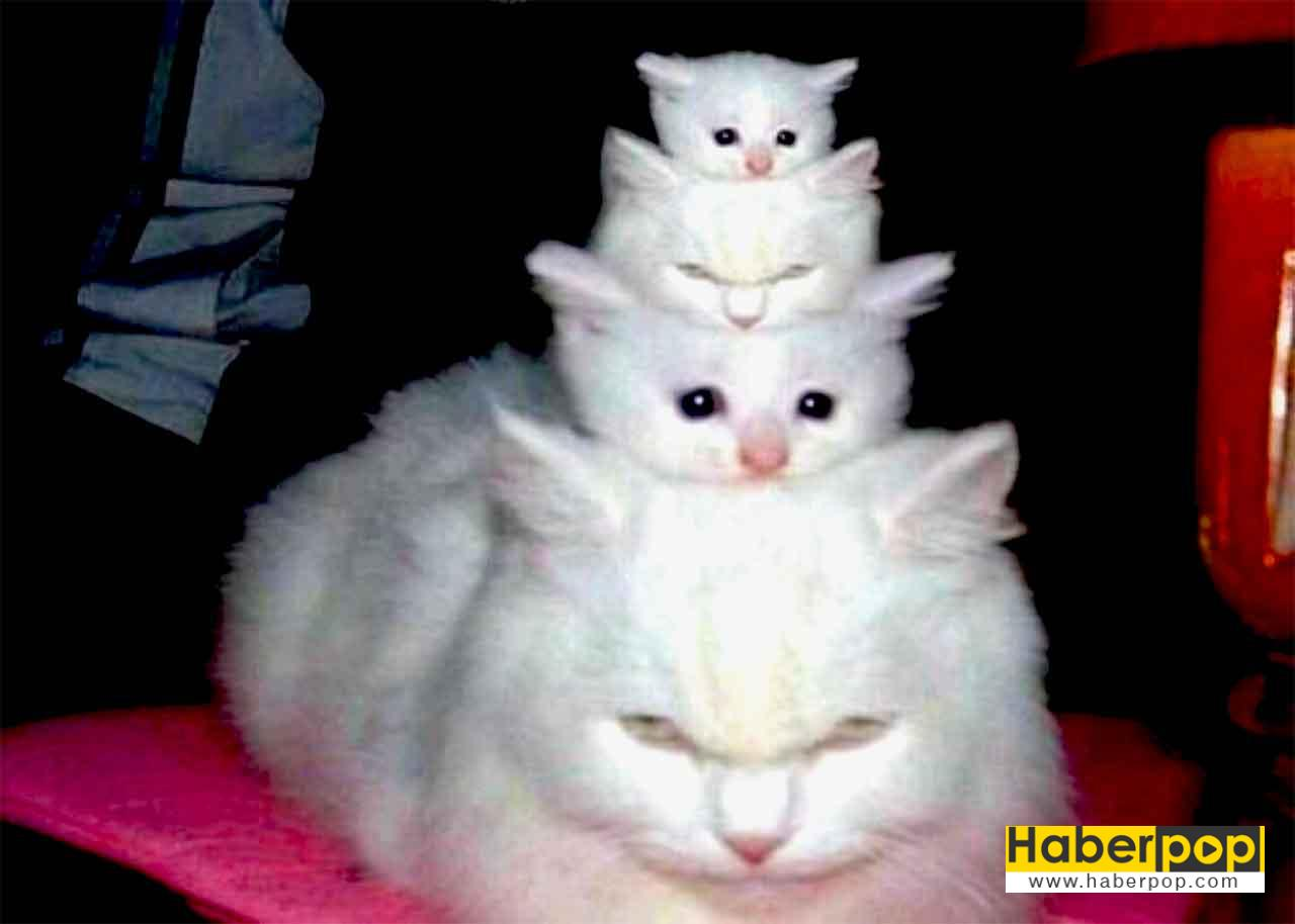 gray calico cat